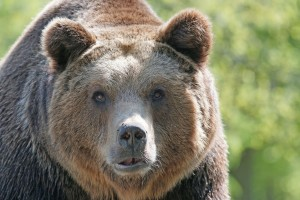 brown-bear-858720_1920