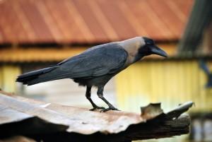 crow-546147_1920