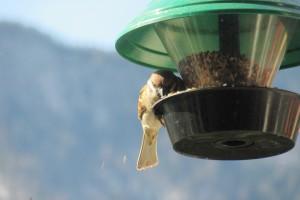 sparrow-709922_1920